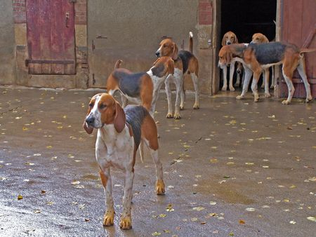 Six pure breed dogs Stock Photo