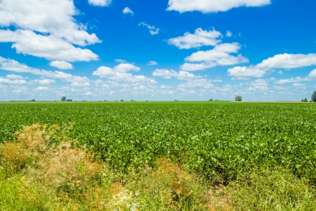 A beautiful field in the countryside, planted with soybean, under a nice blue sky,