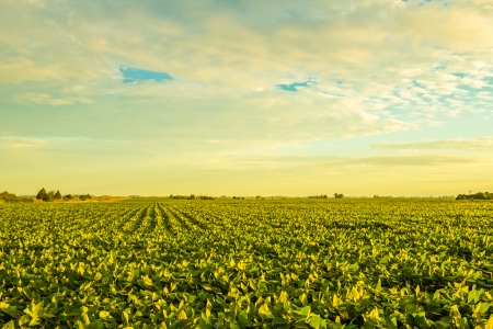 A beautiful soybean field at dusk with amazing colors  Stock Photo