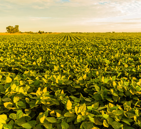A beautiful soybean field at dawn