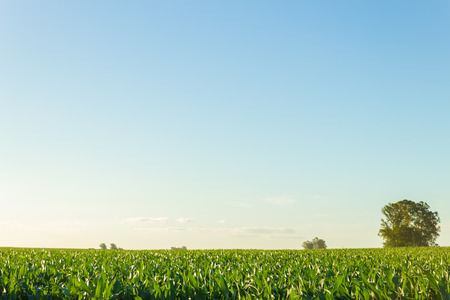 A cornfield beneath a big blue clear sky at dawn