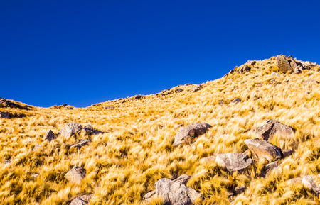 Beautiful yellow grass peaks contrasting with a clear blue sky Stock Photo