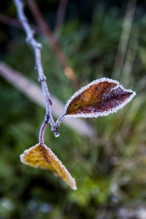 hoarfrost: Colorful leaves in frost Stock Photo