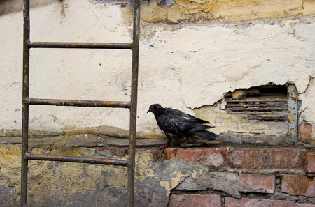 Sick dove on the background of a yellow wall and stairs