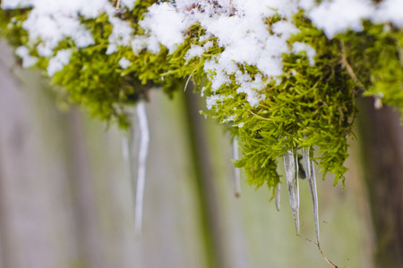 Green moss covered with snow with icicles on a piece of wood Stock Photo