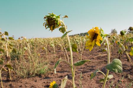 sunflower seeds: Ripe sunflowers on the field Stock Photo