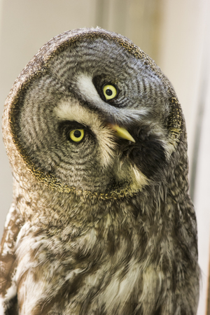 Portrait Owl close-up looks at us Stock Photo