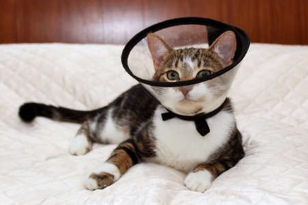 Cat in a veterinary collar lying on a white bedspread and looking forward