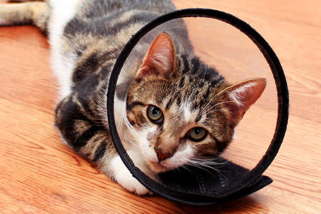 Cat in veterinary collar lying on wooden laminate floor