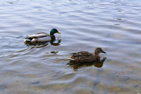 Two ducks floating in the water. Male and female. Bird couple.