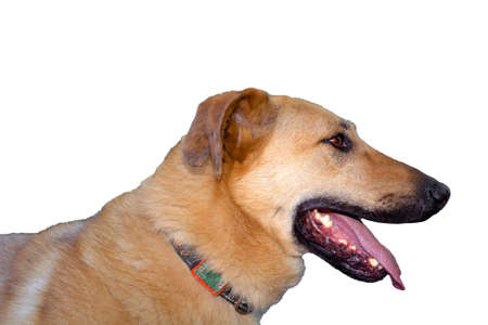 Ginger dog head with black jaws in profile. Isolated on a white background. Standard-Bild