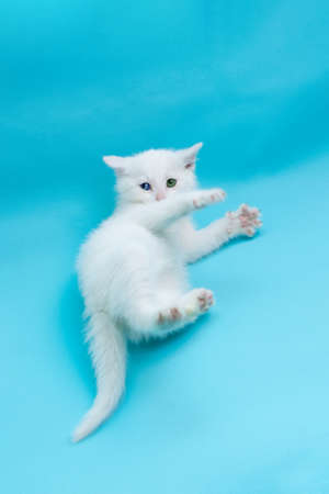 Small white kitten with blue and green eyes lying on blue background with spreading paws. Vertical frame. Banque d'images
