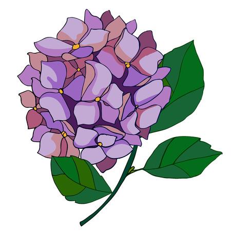 amazing violet hydrangea in bloom