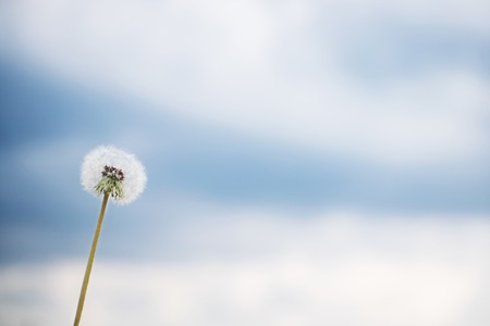 White dry dandelion flower closeup against blue sky with clouds with copy space. Summer and dreaming concept.