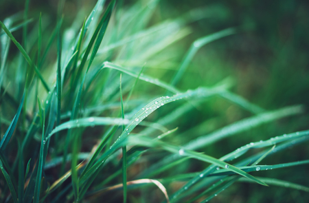green fresh grass with drops of morning water dew after rain, nature background with raindrop, mockup backdrop leaf plant closeup, flora macro concept with the shine rays of the sun