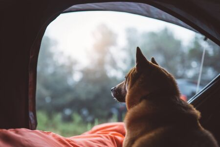 single resting dog in campsite forest, close up tourist red shiba inu leisure in camp tent , outline hiker sad puppy looks distance relax nature vacation trip concept
