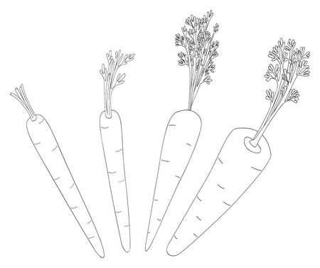 coloration: Set of four carrots with theirs leaves and stalks on white in the Delightful garden collection
