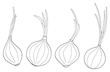coloration: Set of four onions with theirs leaves on white in the Delightful garden collection