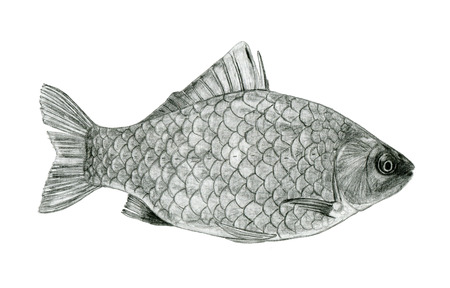 sea bass: Fish sea bass sketch drawing by pencil isolated on white