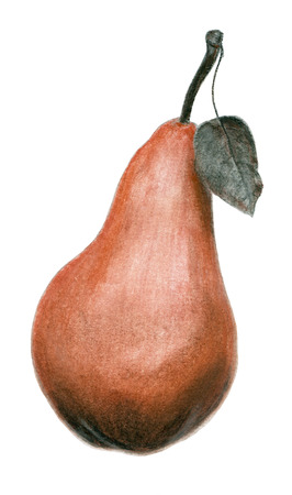 sanguine: Hand drawn sepia and sanguine sketch of a pear illustration isolated on white