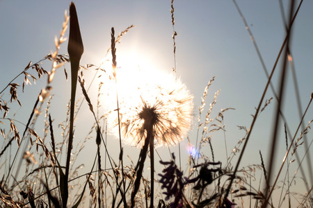 Big summer dandelion at sunset, close-up, outdoors, flora and nature, selective focus Stock Photo