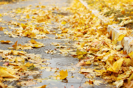 Carpet of the wet yellow maple leaves, fall outdoor