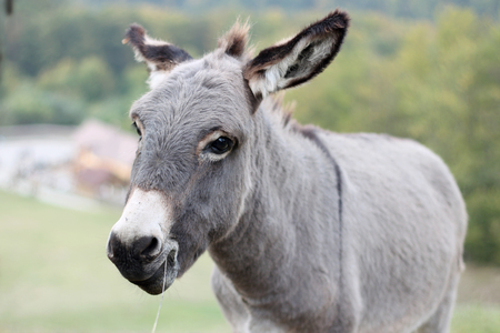 Portrait of a donkey on a grassy mountain, summer outdoor