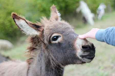 White boy hand of a Caucasian boy touching a donkey head with tenderness, close up of a donkey on a grassy mountain