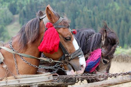 domestication: Two decorated horses in traditional Ukrainian village, Carpathians, Ukraine, summer outdoor Stock Photo