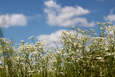Beautiful blossom meadow with chamomiles over bright blue sky with white clouds at sunny summer day, beauty and health, nature outdoor, summer vacation, selective focus