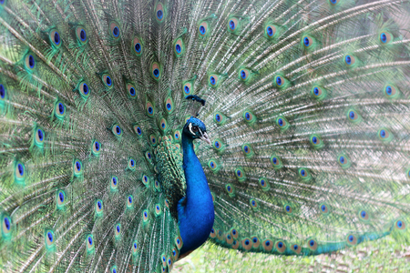 A closeup portrait of peacock with fully spread feathers, spring outdoor, animals and nature concept Reklamní fotografie