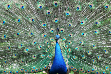 A closeup portrait of peacock with fully spread feathers, spring outdoor, animals and nature concept Stock Photo