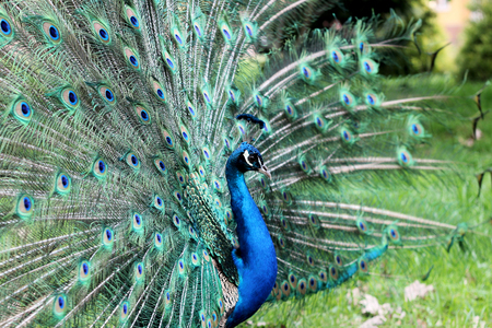 A closeup portrait of peacock with fully spread feathers, spring outdoor, animals and nature concept Imagens