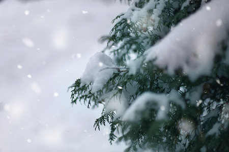 Winter wonderland abstract background, green fur branches cover with snow, place fore text Stok Fotoğraf