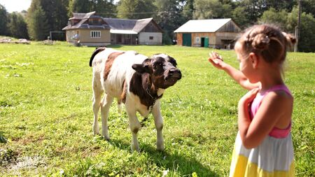 Happy kid feeding a little cow on a farm field in summer, farmer children playing with animals, happy summertime in countryside