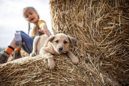 Happy cute 7-8 years girl in jeans overall and orange t-shirt playing with baby puppy on rolls of hay bales in field, summertime in countryside, childhood and dreams, outdoor lifestyle, focus on dog Foto de archivo