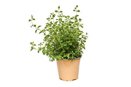 Oregano growing in basket on white background isolated