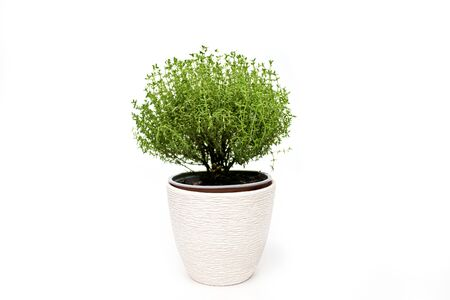 Green thyme plant growing on white background isolated