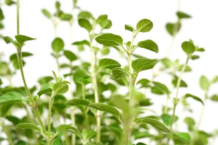 Oregano plant with green leaves growing on white background isolated