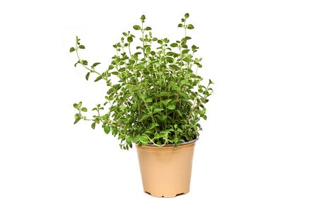 Origano green plant growing on white background isolated