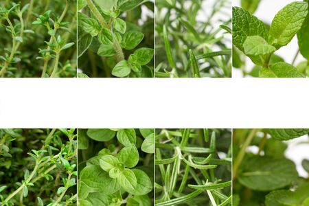 Origano, pepper mint, rosemary and thyme green leaves Marco With white text space