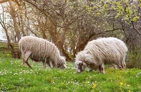Sheeps eating green grass
