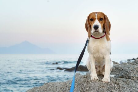 The beagle dog sitting on the stone on the seaside
