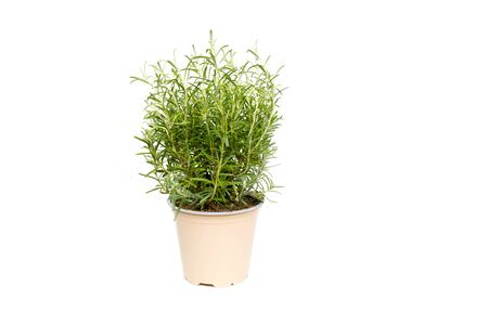 Rosemary green plant growing on white background isolated
