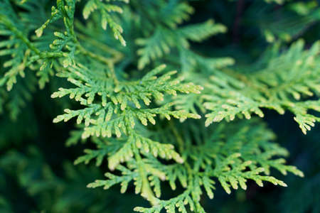 thuja green tree macro