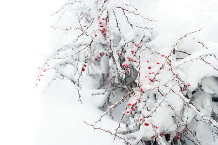 Red berries hawthorn under the snow. Copy space. High quality photo