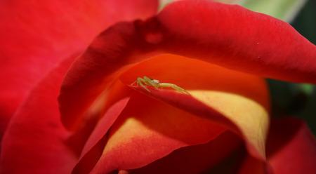 insecta: Arana and Rosa Stock Photo