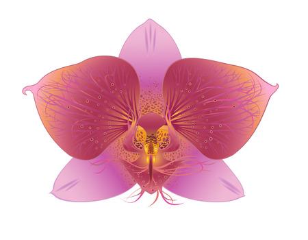 Un fiore di orchidea su sfondo bianco Vettoriali