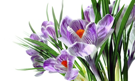 First spring flowers. Violet crocuses on a white background.