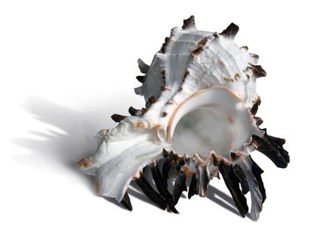 Bianco e marrone scuro seashell su sfondo bianco